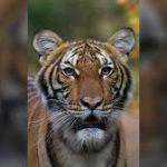 Coronavirus: Tiger Tests Positive At Bronx Zoo